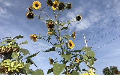 Growing community through gardens